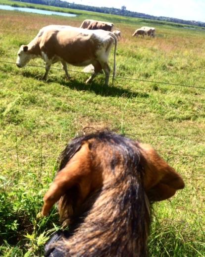 Lehmiä katsomassa