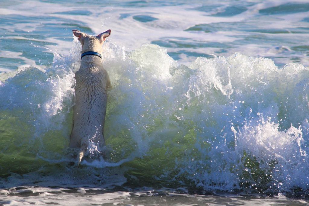 koira rannalla