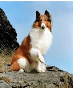 Lassie Dog